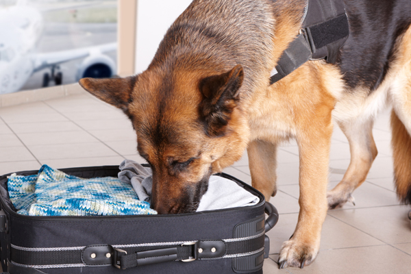 canine drug searches,canine drug searches lawyer,canine drug searches attorney,canine drug searches Dallas